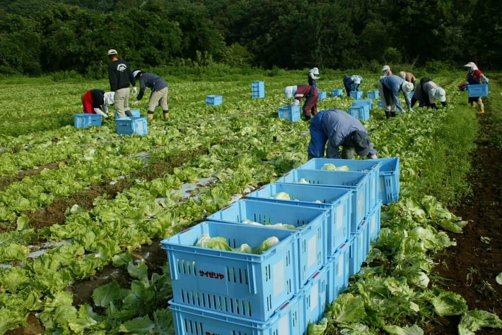 Saizeriya has its own farm, growing cabbages.
